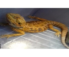 BEAUTIFUL BEARDED DRAGONS COLORS AND MORPHS
