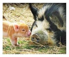 KuneKune Pigs - Amazing heritage grazing pigs
