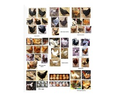 12 organic chicken fertile eggs for hatching pure breeds and hybrids (mixed)