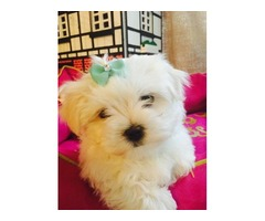 AKc Registered Tea Cup Maltese Puppies Ready To Go Now