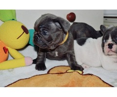 Blue Eyes French Bulldog Puppies Available Now