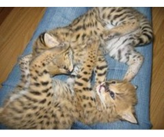 Serval and Savannah kittens for adoption.