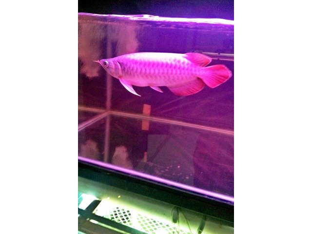 Quality super red arowana fish and many others available for Red arowana fish for sale in usa
