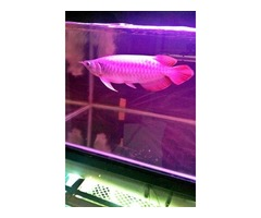 Quality Super Red Arowana Fish And Many Others Available For Sale