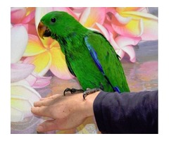 male eclectus chick for sale at a low price with cage