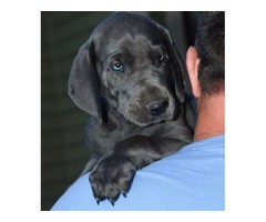 Pure breed Male Great Dane puppy for sale with pet health papers.
