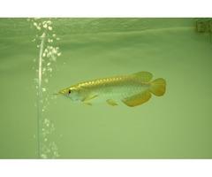 Top quality  AAA Grade Arowana fishes