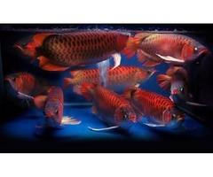 GRADE A+ AROWANA FISH
