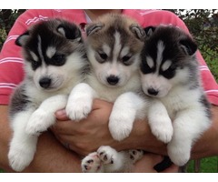 AKC BLUE EYES SIBERIAN HUSKY PUPPIES READY NOW