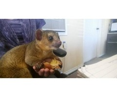 Cute Kinkajou Babies  (Male and female for Adoption) $400