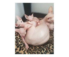 5 Star Sphynx Show Quality Kittens for sale