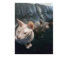 Pedigree Sphynx Kittens for sale