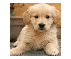 Awesome Golden Retriever Puppies available .(608)490-6691