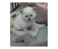 Exotic British Shorthair Kittens For sale