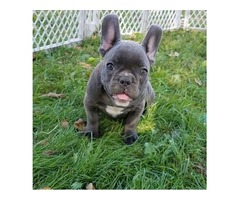 Adorable frenchies for loving home