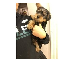Loving playful Yorkshire terrier puppies