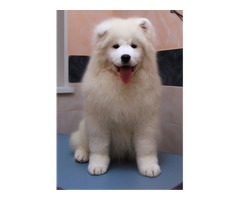 Two loving Samoyed puppies for good home