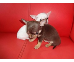 Chihuahua Male and Females Puppies Ready For Sale