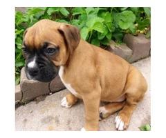 4 female pure breed boxer pups