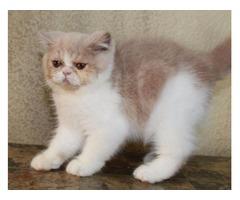 Exotic Shorthair cream and white male kitten