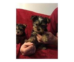 $230 Two Precious Yorkie Pups