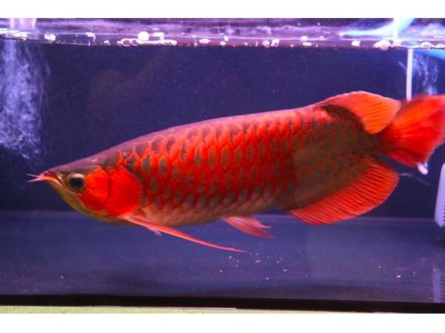 Asian Red Arowana, Super Red arowanaer Andre - Dyr-8575