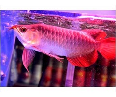 Top Quality Super Red Arowana Fish For Sale And Many More