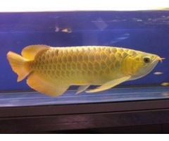 Golden Arowana Fish For Sale And Many Others Now