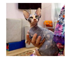 Kittens of the Canadian Sphynx