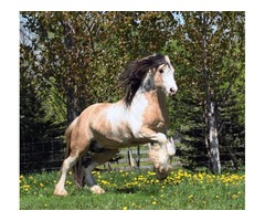 All Man Dream Gypsy Vanner Horse for Adoption