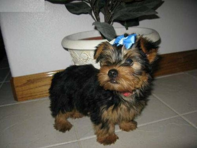 Charming Home Raised Yorkie Puppies Available740693 2210 Animals