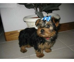 Charming home raised yorkie puppies Available(740)693-2210