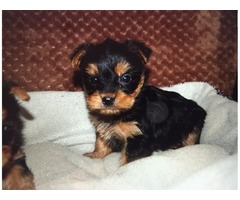 Tiny Adorable Baby Yorkie Puppy