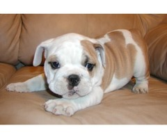 AKC Reg Home English Bulldog Puppies Free