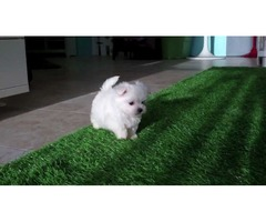 Adorable AKC Maltese puppies