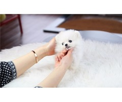 Tcup Pomeranian Puppies for sale