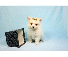 AKC Male and Female Pomerania Puppies for Sale