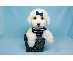 Pure white Toy Poodle puppies