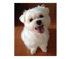Gorgeous Maltese Male Puppy