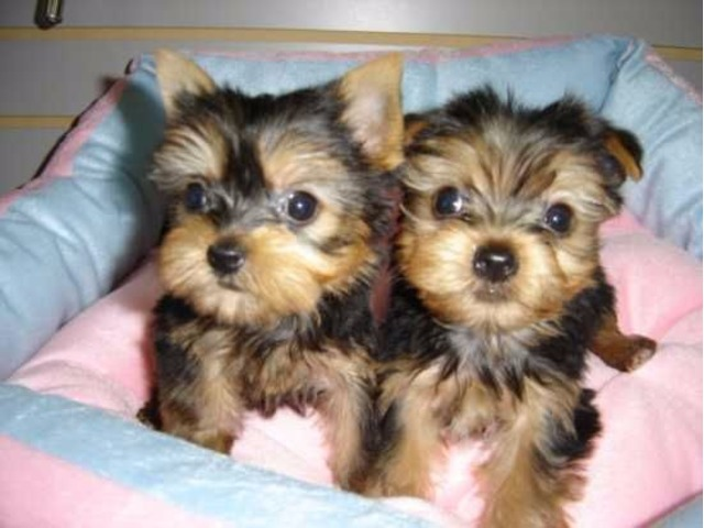 Cute Teacup Yorkie Puppies Available Animals Adelanto