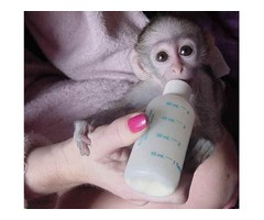 FAMILY RAISED HOME TRAINED BABY CAPUCHIN MONKEYS FOR SALE