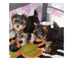 Beautiful fluffy yorkie pups, Fully weaned,