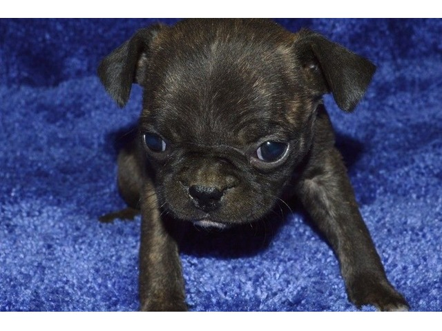 Top Quality Pug Puppies For Sale Animals Houston Texas
