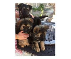 G2 security German Shepherd pups