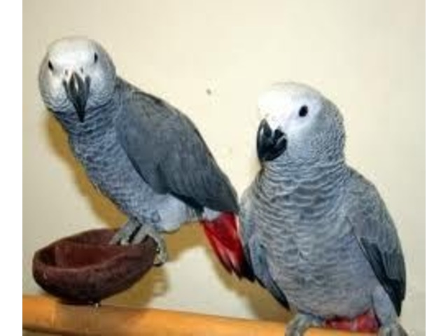 Friendly male and female Congo African Grey Parrots | free-classifieds-usa.com