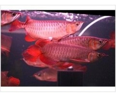Magnificent Healthy Arowana Fishes For Sale