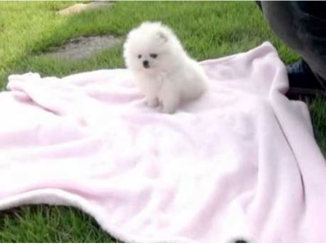 Pomeranian Puppies For Sale Animals Dallas Texas