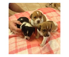Jack Russell Puppies Short Legged