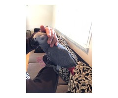 Well trained african grey parrots available