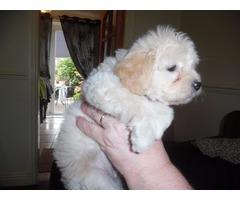 Tiny Malti-poo Boy - 5 to 5.5 lbs full grown
